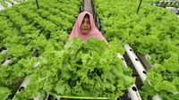 Warga menunjukkan sayur Selada budidaya sistem hidroponik diatas atap rumah toko (ruko) di Desa Paya Punteuet, Lhokseumawe, Aceh, Selasa (13/10/2020). (Foto: ANTARA FOTO/Rahmad)