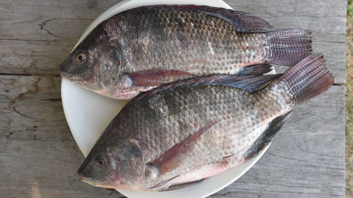 Cara Budidaya Ikan Mujair