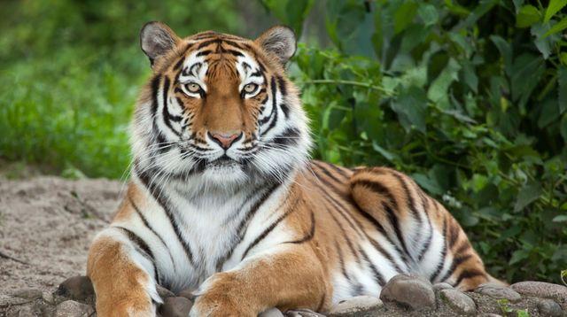 Seekor Harimau di Amerika Serikat Terinfeksi Virus Corona! Kok, Bisa?