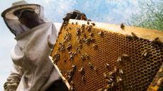 Racun Lebah Madu