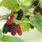 Punya Masalah Anemia, Coba Perbanyak Makan Buah Mulberry atau Murbei!